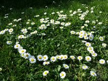 Daisy flowers heart shape on grass. Daisy flower yellow and white heart shape on grass Royalty Free Stock Image