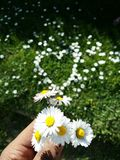 Daisy flowers heart shape on grass Royalty Free Stock Photo