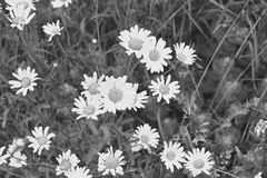 Daisy Flowers i svartvitt Royaltyfri Bild