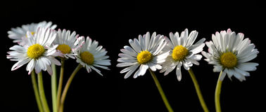 Daisy flowers. Isolated on a black background Royalty Free Stock Photo
