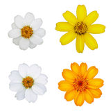 Daisy flowers isolation Stock Images