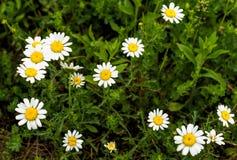 Daisy flowers. Large group of daisy flowers Stock Photos