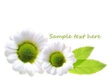 Daisy flowers. Royalty Free Stock Image