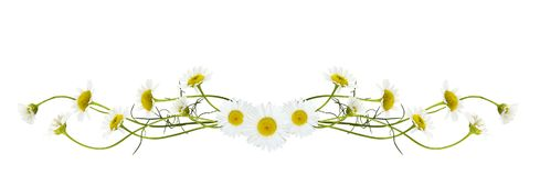 Daisy flowers in a line arrangement. Isolated on white background. Flat lay. Top view Royalty Free Stock Image