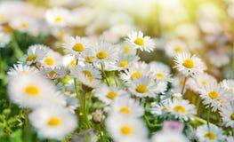 Daisy flowers lit by sunbeams - sunrays Royalty Free Stock Photo