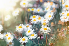 Daisy flowers - little spring daisy flowers Stock Photos