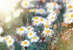 Daisy flowers - little spring daisy flowers Stock Photos