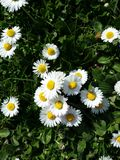 Daisy flowers. Little yellow and white flowers Royalty Free Stock Photography