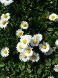 Daisy flowers Royalty Free Stock Photography