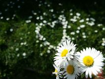 Daisy flowers. Little yellow and white flowers Stock Image