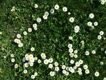 Daisy flowers. Little yellow and white flowers, daisy heart shape with grass Royalty Free Stock Photos