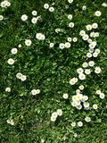 Daisy flowers. Little yellow and white flowers, daisy heart shape with grass Stock Image