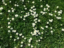Daisy flowers. Little yellow and white flowers, daisy heart shape with grass Royalty Free Stock Photography