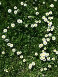 Daisy flowers. Little yellow and white flowers, daisy heart shape with grass Royalty Free Stock Photo