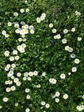 Daisy flowers. Little yellow and white flowers, daisy heart shape with grass Stock Photo
