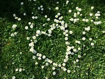 Daisy flowers. Little yellow and white flowers, daisy heart shape with grass Stock Photos