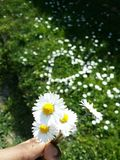 Daisy flowers. Little yellow and white flowers, daisy heart shape with grass Royalty Free Stock Images