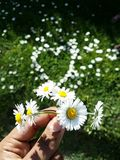 Daisy flowers. Little yellow and white flowers, daisy heart shape with grass Stock Images