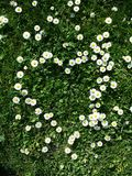 Daisy flowers. Little yellow and white flowers, daisy heart shape with grass Stock Photography