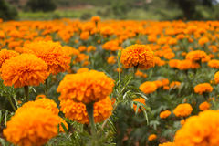 Daisy flowers. Marigold flowers shot at a farm Stock Photo