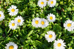 Daisy flowers on meadow Stock Images