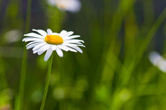 Daisy flowers on a meadow Royalty Free Stock Photos