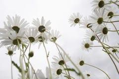 Daisy Flowers In Meadow Imágenes de archivo libres de regalías