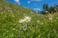 Daisy Flowers Meadow Fotografía de archivo