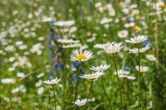 Daisy Flowers Meadow Imagenes de archivo