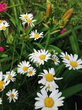 Daisy flowers. Meadow daisy flowers Royalty Free Stock Images