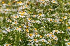 Daisy Flowers Meadow Foto de archivo