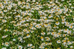 Daisy Flowers Meadow Foto de archivo libre de regalías