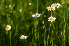 Daisy flowers meadow Royalty Free Stock Image