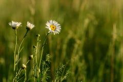 Daisy flowers meadow Royalty Free Stock Photo