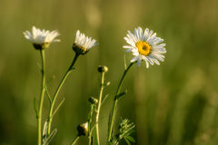 Daisy flowers meadow Royalty Free Stock Images