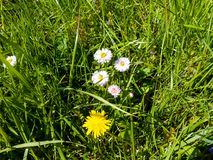 Daisy flowers in the meadow. Bright flowers daisy on background of green meadows Royalty Free Stock Images