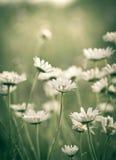 Daisy flowers on the meadow Stock Photos
