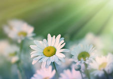 Daisy flowers in meadow Stock Photography