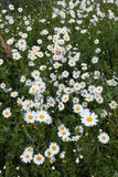 Daisy flowers in meadow Stock Image