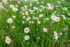 Daisy flowers in meadow Royalty Free Stock Photography