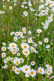 Daisy flowers in meadow Stock Photo