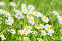 Daisy flowers in meadow Royalty Free Stock Image