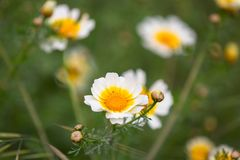 Daisy flowers on the meadow. Daisy flowers on spring meadow Royalty Free Stock Image