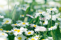 Daisy flowers in meadow (springtime) Stock Photography