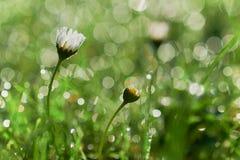Daisy Flowers med trevliga vattensmå droppar Bokeh arkivfoto
