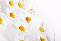 Daisy Flowers met Dauwdruppels Stock Foto's