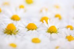 Daisy Flowers met Dauwdruppels Stock Foto