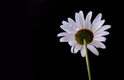 Daisy Flowers met Dauwdruppels Stock Afbeeldingen