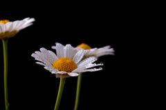 Daisy Flowers met Dauwdruppels Stock Fotografie