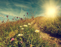Daisy flowers on the mountain tableland Royalty Free Stock Photography